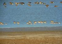 Autumn migration of shorebirds